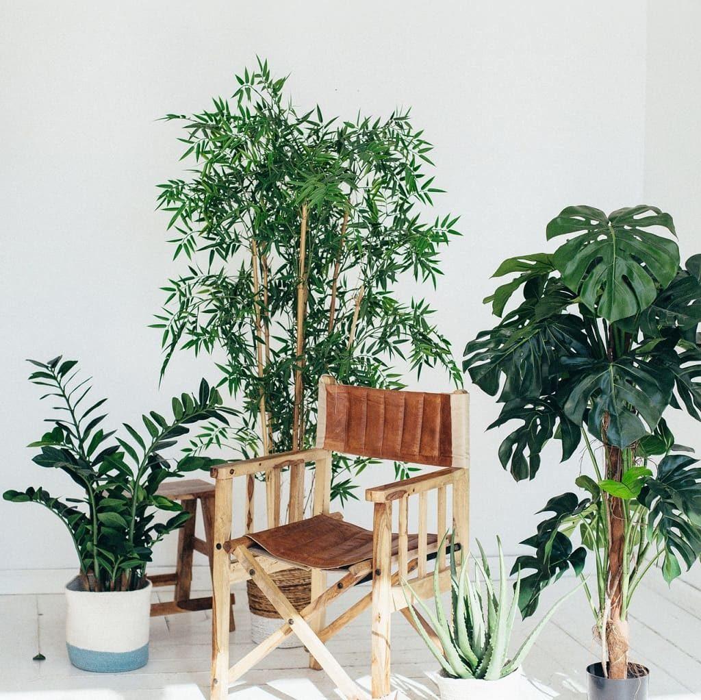 Pour l/'intérieur Aralie-coloration verte feuilles nettoyer et rafraîchir l/'air!