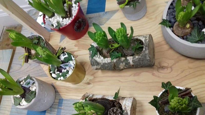 Jacinthes en pots pour une décoration naturelle, plantes et fleurs ecoresponsables par un horticulteur certifié agriculture biologique, locale et solidaire
