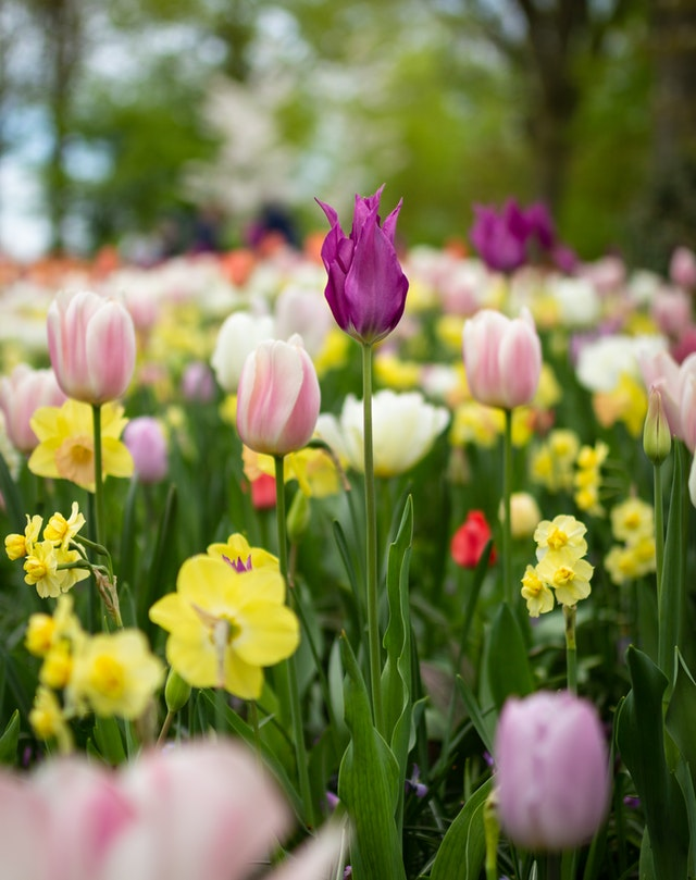 Tulipes, fleurs des champs, fleurs de printemps, fleurs bio, fleurs écoresponsables, de saison, fleurs locales, décoration naturelle, écologique, saine, slow deco