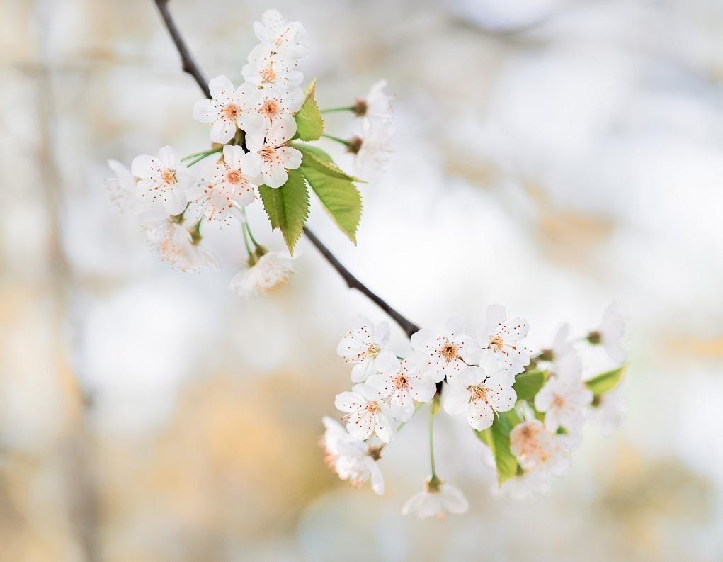 fleurs de cerisier, grand nettoyage de printemps, astuces, bienfaits santé ménage, slow life, slow design, deco ecologique, deco naturelle, deco ecoresponsable